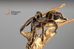 Tarantuala Photographs