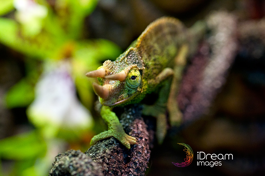 Chillicothe Ohio Pet Photographer | Jackson Chameleon ...